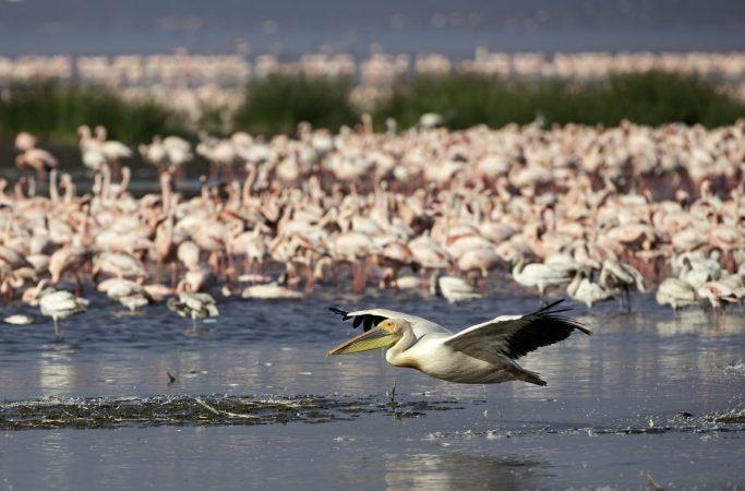 Kenia safari pelikaani