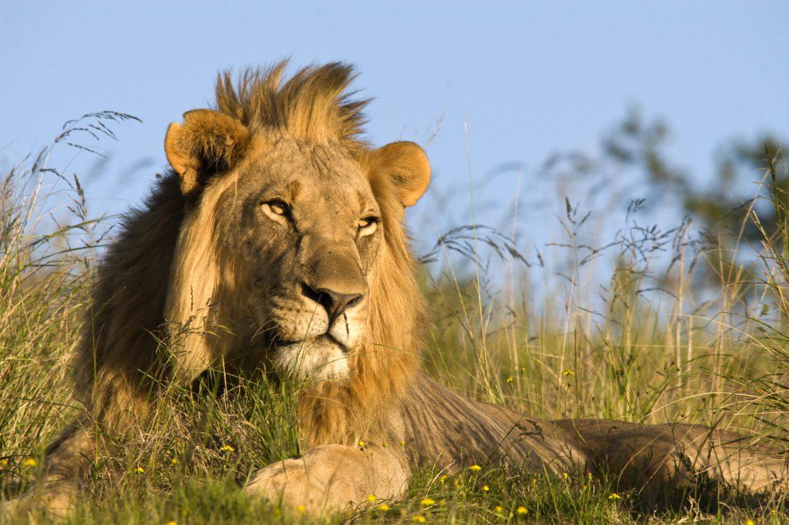 Kenia safari leijona