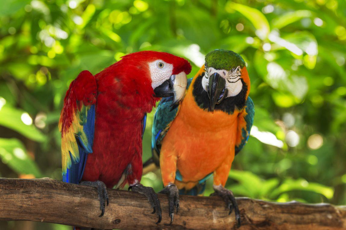 Costa Rica papukaija