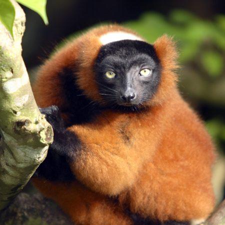 Madagaskar apina
