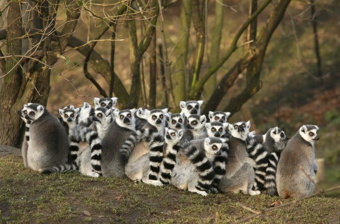 Madagaskar maki