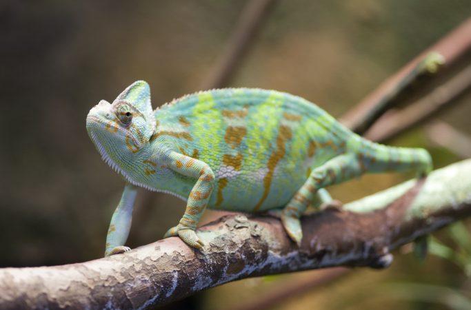 Madagaskar kameleontti