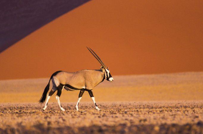 Namibia antilooppi