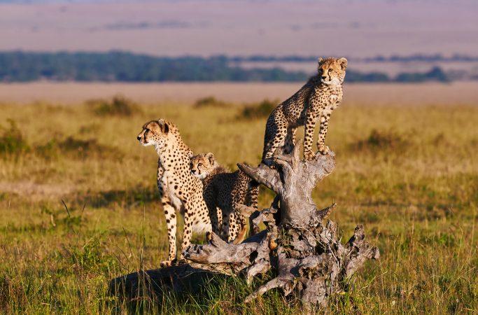 Tansania safari gepardi
