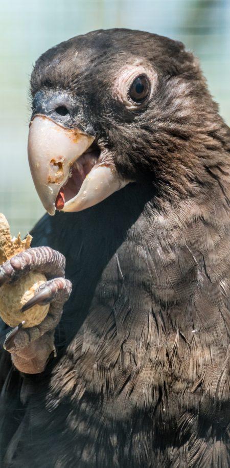 Seychellit Praslin musta papukaija