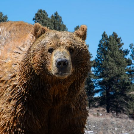 USA Yellow Stone National Park kansallispuisto karhu