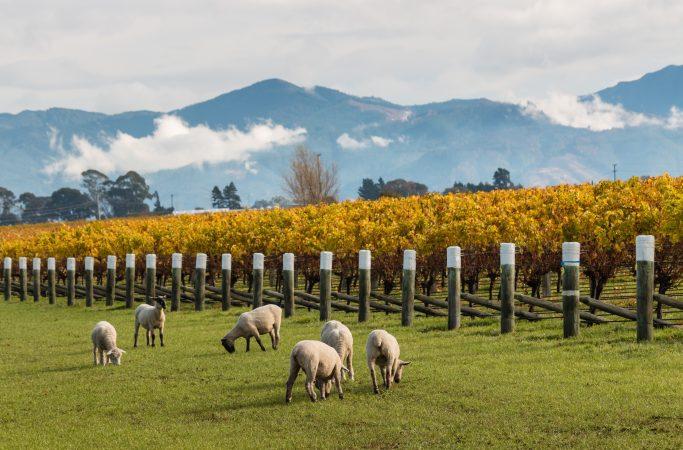 Uusi-Seelanti Marlborough lampaita