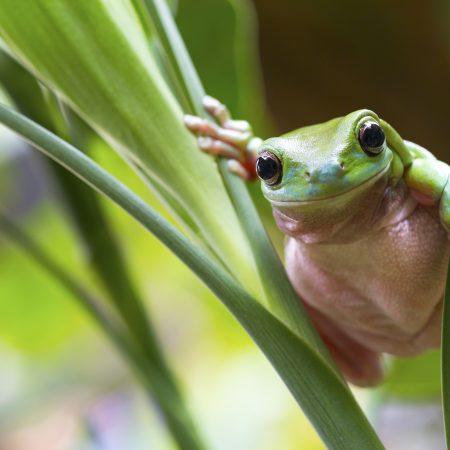 Australia sademetsä sammakko