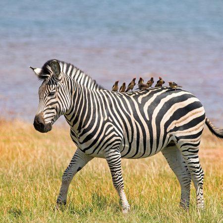 Zimbabwe seepra