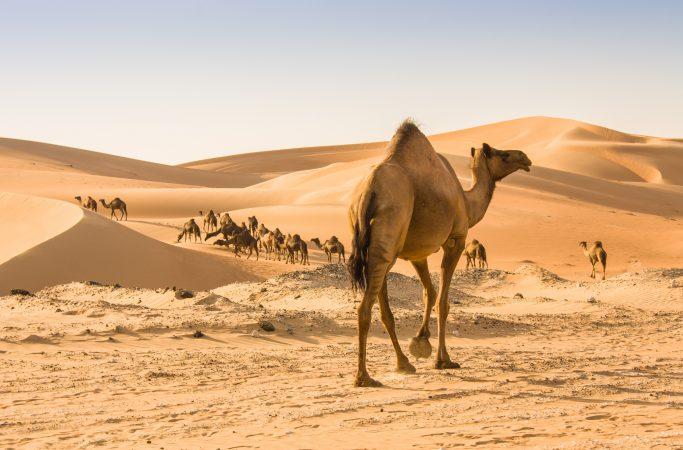 Oman kameli