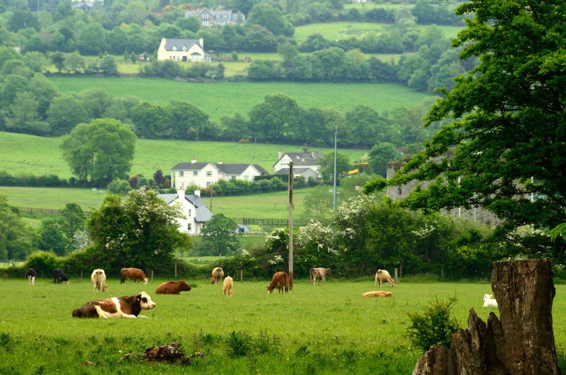 Irlanti Kilkenny lehmiä