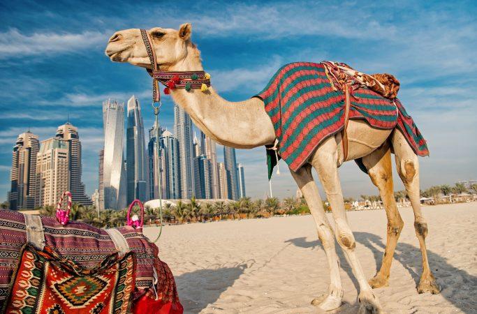 Dubai kameli